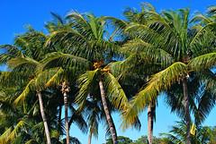 Key West (Florida) Trip 2015 0217Ri 4x6 (edgarandron - Busy!) Tags: trees cemeteries plants tree cemetery keys florida palmtrees keywest floridakeys keywestcemetery