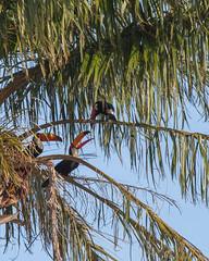 happy toucans (jon5cents) Tags: brazil canon toucan falls palm iguazu iguassu 5dmkii ef100400mmf456l