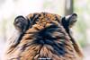 Guntur ♂ - I'm Listening (Belteshazzar (AKA Harimau Kayu)) Tags: usa animal japan gardens cat asian zoo dc washington tiger pumpkinhead national camouflage beast nationalzoo soy yokohama tijger carnivorous tigris tigre tigerstripes thunder bigcats sumatran soyono zoological 虎 predetor zoorasia guntur flesheating sumatratiger tygr tiikeri thetemptation тигр pantheratigrissumatrae sumatraansetijger asiancat tigredesumatra gunchan 苏门答腊虎 thesmithsoniannationalzoologicalpark harimausumatera sumatrakaplanı tygrsumaterský tygryssumatrzański суматранскийтигр szumátraitigris 수마트라호랑이 เสือโคร่งสุมาตรา सुमात्रनवाघ სუმატრისვეფხვი טיגריססומטרה ببرسوماترایی hổsumatra