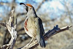 Sitting Pretty (Patricia Henschen) Tags: newmexico bird socorro bosquedelapache quail nationalwildliferefuge gambels