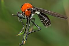 Holiday bug pic #92 (affectatio) Tags: macro bug insect fly robberfly genus diptera asilidae pulchella mpe65 cabasa asilid cabasapulchella