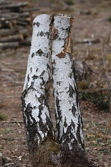 Bisous des bouleaux (Booky & Toad) Tags: white forest canon sigma 105 foret blanc coup bois bouleau bisous 38260 700d nantoin
