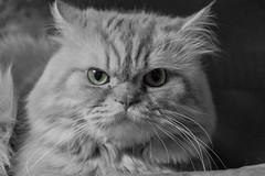 Aziz (jazzpics) Tags: cat persian feline felino katz aziz persiancat gatopersa