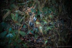Crouching Tiger -Kanha Tiger Reserve | Madhya Pradesh | India (disturbedfred) Tags: park india nikon tiger royal reserve national bengal tigris largest crouching pradesh bengaltiger panthera pantheratigris kanhatigerreserve madhya kanha kanhanationalpark indiantiger crouchingtiger d810 pantheratigristigris royalbengaltiger nikkor200400mmf4gedvrii