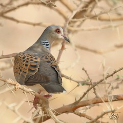 turtle Dove# #  #  #  # # #  #  (aou_ali30) Tags: