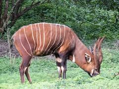Mountain Bongo (Makgobokgobo) Tags: africa mammal kenya nairobi bongo safariwalk easternbongo nairobinationalpark tragelaphuseurycerus mountainbongo tragelaphus tragelaphuseurycerusisaaci