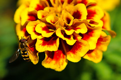 Hoverfly on Red and Yellow Marigold :  (Dakiny) Tags: park red plant flower macro nature beautiful animal yellow japan bug insect march fly spring nikon bokeh outdoor yokohama hoverfly aoba 2016 flowerfly knagawa d7000 nikonclubit afsnikkor50mmf18g nikonafsnikkor50mmf18g