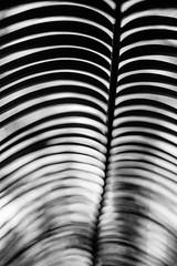 Posture (belleshaw) Tags: blackandwhite plant detail nature branch bokeh palm frond ribs skeletal laarboretum
