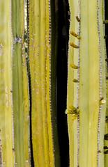 Backyard Cactus 029 (ljguitar) Tags: quail centuryplant suncitywest backyardcactus petemarilyn