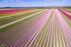 Bollenveld Flevoland (Jan Willem Schoonhoven) Tags: april flevoland bollen luchtfoto tulpen kleurrijk zeewolde nijkerk drone voorjaar 2016 bollenvelden flevopolder tulpenvelden phantom3 dji luchtfotografie djiphantom3professional phantom3professional dronefotografie