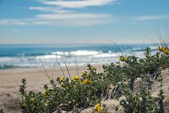 Spring on the dunes (Oddiseis) Tags: morning flowers blue sea sky green beach valencia yellow clouds reflections coast spring spain sand flora mediterranean waves quiet dune shoreline peaceful sunny litoral elsaler ladevesa deepoffocus valenciancommunity tamron247028 parcnaturaldelalbuferaielsaler