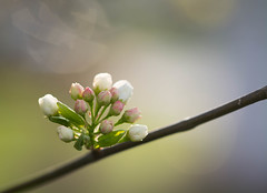 Soon (Captured Heart) Tags: spring waiting blossoms flowering soon springtime peartree hopeful