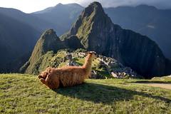 Llamas at Machu Picchu in Peru-40 5-24-15