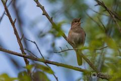 Nightingale (raphael.labourel) Tags: pets bird animaux oiseau nightingale rossignol lusciniamegarhynchos