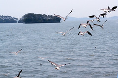 _DSC0423 (sayots) Tags: japan gull  matsushima miyagi