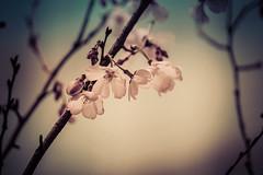 First Sakura (Thomo13) Tags: flower tree japan cherry tokyo spring blossom sakura roppongi hanami