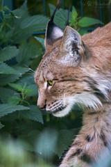 Lynx head (Cloudtail the Snow Leopard) Tags: berlin animal cat mammal feline katze tierpark lynx tier luchs altai sugetier eurasischer