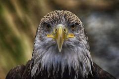 bald eagle (ucumari photography) Tags: bird animal aquarium march nc north baldeagle carolina fortfisher 2016 specanimal dsc5180 ucumariphotography