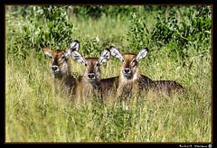 Tarangire 2016 14 (Havaux Photo) Tags: elephant robert rio river tanzania photo lion ostrich leon zebra antelope avestruz giraffe gazelle elefant antilope tarangire elefante riu gacela cebra estru jirafa lleo tarangirenationalpark antilop gasela havaux