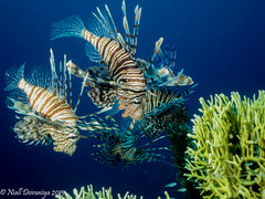 LIONS ON THE HUNT (Niall Deiraniya Underwater Photography) Tags: coral danger marine hunting lion lionfish glassfish lionffish