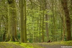 Lente in het bos (@mvkooten) Tags: trees holland tree green nature netherlands forest spring eiken bomen groen natuur lush bos lente wassenaar eik beuken voorjaar beuk fagussylvatica