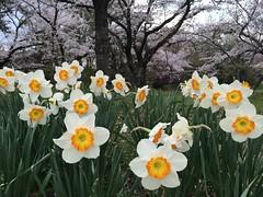 Narcisos (crisishida) Tags: planta outdoor flor toyota narciso canteirodeflores aoarlivre prefeituradeaichi kubocho4chome