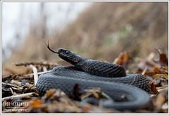 Vipera berus (Thor Hakonsen) Tags: reptile orm adder reptil viperaberus huggorm hoggorm slange europeanadder
