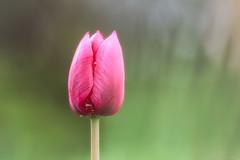 ..:: auslaufmodell ::.. (bora_binguel) Tags: pink plant flower nature natur pflanze rosa tulip blume farbe tulpe iek bitki lale doa pembe bobidigitalphotography