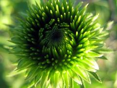 Echinacea (Purple Coneflower) Center (greenladycrafts) Tags: flower green echinacea center wildflower purpleconeflower greenflower