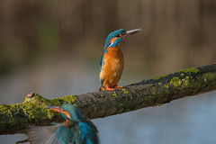 R16_8888 (ronald groenendijk) Tags: holland bird nature netherlands birds animal europe outdoor wildlife vogels natuur kingfisher tak vogel alcedoatthis ijsvogel natuurfotografie martinpecheur groenendijk ronaldgroenendijk cronaldgroenendijk rgflickrrg