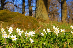Anemones in the forest (Tim Lindstedt) Tags: wood flowers trees favorite white inspiration flower color tree green slr art nature beautiful beauty grass rock composition digital forest canon woodland landscape photography eos evening photo moss spring oak woods scenery warm europe afternoon image sweden good great scenic picture pic best foliage most anemone photograph naturereserve scenary views april imagination sverige dslr capture oaks anemones province eveninglight timlindstedt