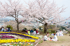 Spring picnic (Wunkai) Tags: japan picnic  cherryblossom sakura    ibarakiken hitachishi  kaminepark