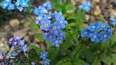 Non ti scordar di me (Marty_0722) Tags: life flowers plant nature flora natura fiori vita pianta