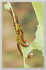 Larva - Caterpillar (J. Amorin) Tags: macro butterfly gusano catterpillar larva canon10028macro macuspana amorin tabascomexico canon7d mariposasypolillas