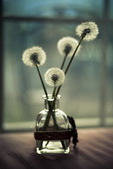 wishes yet made - 120/366 (auntneecey) Tags: dof bokeh dandelion seeds wishes vase day120366 366the2016edition 3662016 29apr16