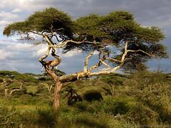 Lions in a tree - Lionnes dans un arbre (charbonjoh) Tags: naturemasterclass