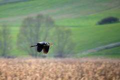 Rametti per il nido (luporosso) Tags: naturaleza bird heron nature birds nikon natura uccelli palude uccello birdwatcher naturalmente airone colfiorito aironecenerino nikond300s