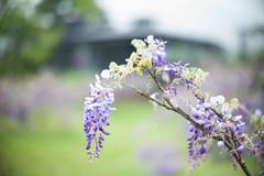 Wisteria (Jill-Wang) Tags: leica flower purple bokeh noctilux wisteria m9