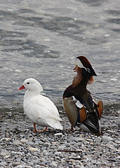 Vevey (bord du lac Lman)des htes insolites (luka116) Tags: oiseaux animaaux animal aninals vevey lac eau eaux avril 2016 canard canards canardmandarin laclman