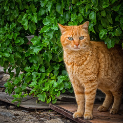 Ginger Stray Tom . (kitchou1 Thanx 4 UR Visits Coms+Faves.) Tags: world street france nature animals cat season spring europe exterior south printemps saison