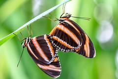 Striped love (alain01789) Tags: butterfly bokeh wildlife exotic exotique dryadula phaetusa