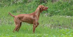 Doing What She Does (Steven Peachey) Tags: game dogs animal point pointer outdoor working vizsla workingdog hungarianvizsla tamron70300mm lightroom5 canon7dmarkii stevenpeachey
