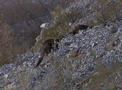 Gila Box Riparian National Conservation Area (BLMArizona) Tags: arizona nlcs wilderness gilabox conservation outdoors getoutside hike hiking landscape scenic photography desert recreation wildlife animal coati