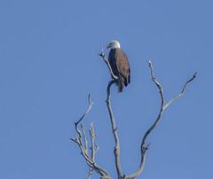 Bald Eagle at the Heron Rookery Natural Preserve in Morro Bay , California. (Atascaderocoachsam) Tags: