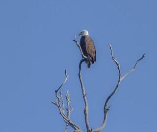 Bald Eagle at the Heron Rookery Natural Preserve in Morro Bay , California.