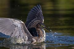 Zero G (gseloff) Tags: bird texas feeding wildlife pasadena waterdroplets greenheron kayakphotography gseloff horsepenbayou