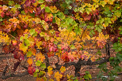 Autumn Vines - Wilderotter Vineyard - Plymouth, California (Greg Mitchell Photography) Tags: california road county november school autumn sunset red orange cloud foothills color green fall nature leaves yellow landscape evening leaf vineyard wire purple post wine stock pipe plymouth vine row winery sprinkler valley shan hayes shenandoah grape amador tactile ravel irragation 2013 wilderotter