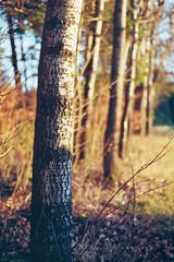 Birke (MSC_Photography) Tags: trees sunset color tree forest gold evening abend woods warm sonnenuntergang dof kodak bokeh chrome 200 electro 35 wald bume gs yashica baum 45mm chrom 117 birke betula autofocus f17 yashinon