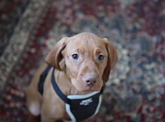 Vizsla Aura (Deirdre Snook) Tags: puppy pointer vizsla retriever hunter aura hungarian
