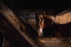 Ben Waits His Turn (Jen MacNeill) Tags: horse pennsylvania pa lancaster belgian lancastercounty workhorses landisvalley landisvalleymuseum horsesdraft